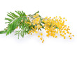 Mimosa flower isolated on white