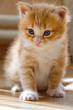 Постер, плакат: Рыжий котёнок