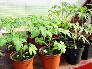 semis tomate2
