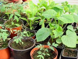 semis tomate et concombre