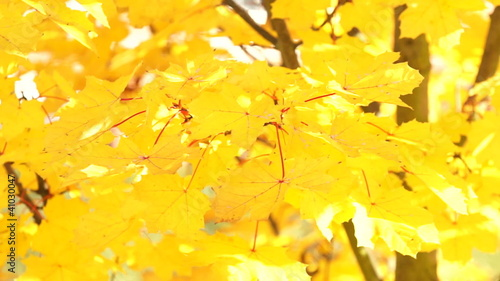 Trembling yellow maple leaves