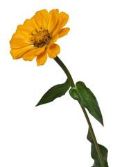 Flower Zinnia isolated