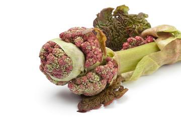 Fresh Rhubarb flower