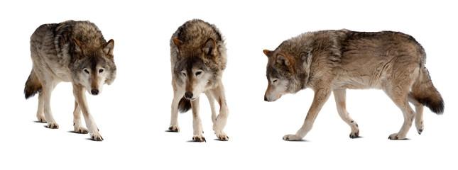 Set of few wolves over white