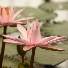 detail of pink lotus