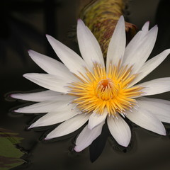 detail of white water lily