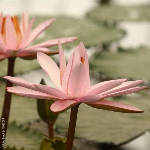 detail of pink lotus