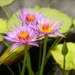 cluster of purple water lilies