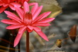 detail of red water lily