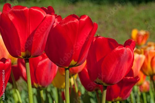 Fototapeten,tulpe,tulpe,tulpe,liliaceae