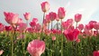 Pink Tulips in Wooden Shoe Farm in Oregon 1080p Panning