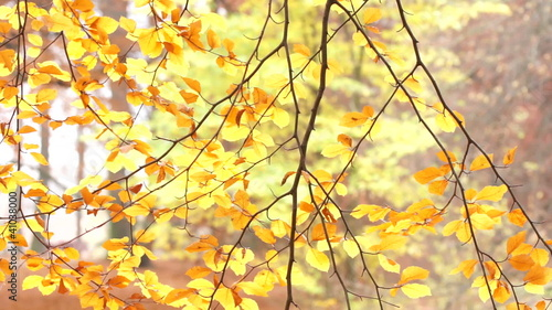 Autumnal beech leaves on swaying branches