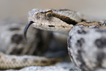Vipera wagneri and tongue