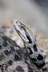 female Montivipera wagneri - portrait