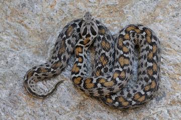 Montivipera wagneri - female pattern