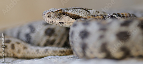 Mountain viper (Vipera wagneri) - wide photo