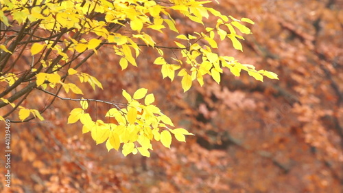 Yellow autumn leaves on swaying branches