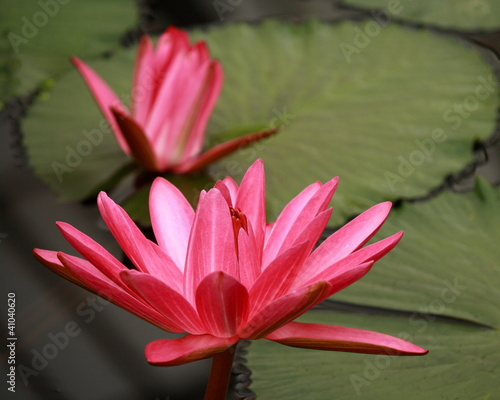 detail of pink water lily