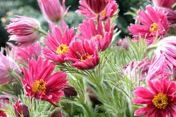 Pink spring flowers of Pulsatilla