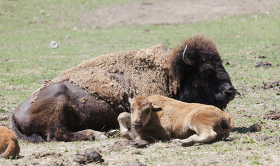 American buffalo cow with six weeks old calf