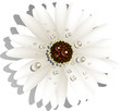 Beautiful White Gerber Daisy