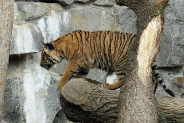 1204040 - Tiger auf Tour...