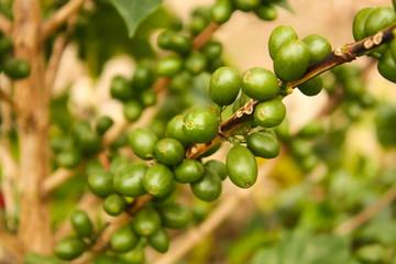Coffee plants to mature.