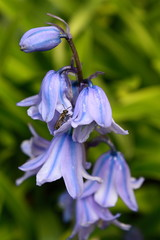 bluebells with wild bee