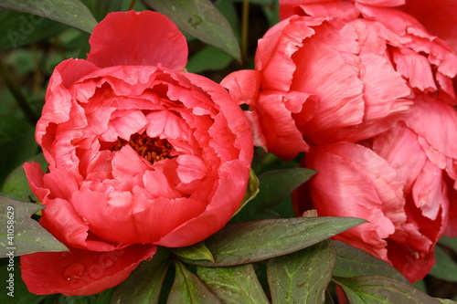 Foto op Canvas Lilac red peony flowers