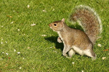 curious grey squirrel on grass