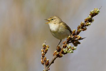 A Common Chiffchaff (Philloscopus collybita)
