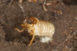 Chafer beetle larva, Scarabaeidae in ground, macro photo