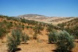 Olive groves in mountains, Andalusia © Arena Photo UK