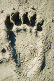 Grizzly bear track in soft mud.