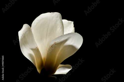 Magnolia at night 2 © jadams08