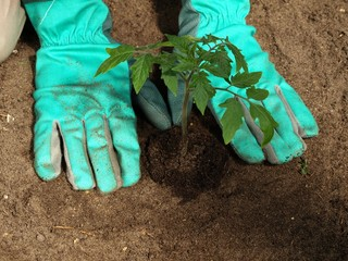 Transplanting tomato plant