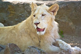 Beautiful white young lion in zoo captivity poster