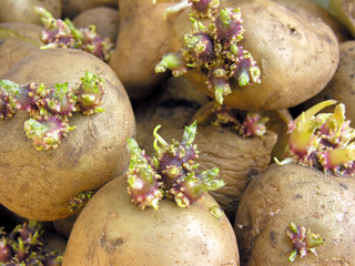 germinating potatoes
