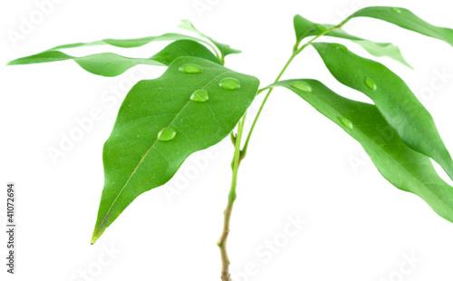jeune arbre, letchi