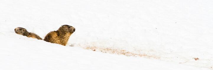 Marmottes dans la neige