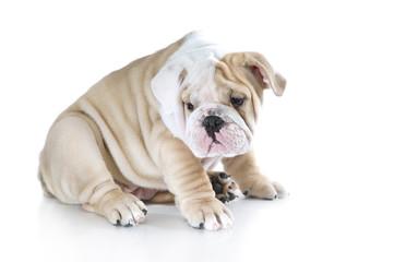 Cute english bulldog puppies isolated