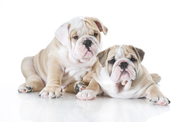 Cute english bulldog puppies isolated