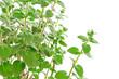 Fresh green Za'atar (za'tar, zaatar, za'tar, zatar, zatr,)