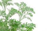 Artemisia absinthium (absinthium, absinthe wormwood, wormwood)