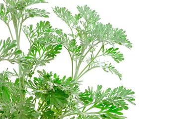 Fresh green Artemisia absinthium (absinthium, absinthe wormwood)