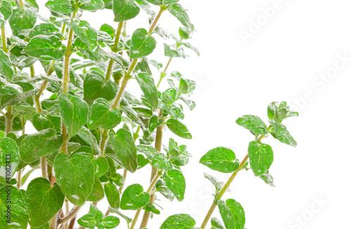 Fresh green Za'atar (za'tar, zaatar, za'tar, zatar, zatr)