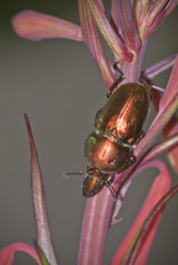 Christmas Beetle on Tasmanian Christmas Bells