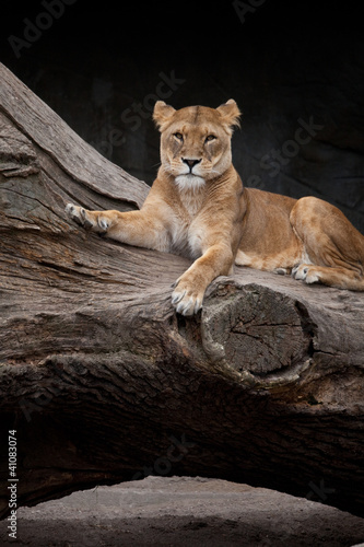Löwin bei der Mittagspause