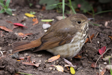 Sitting Wood Thrush