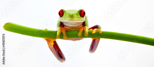 Foto op Canvas Kikker Agalychnis callidryas